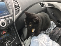 Nephthys getting comfortable in the car
